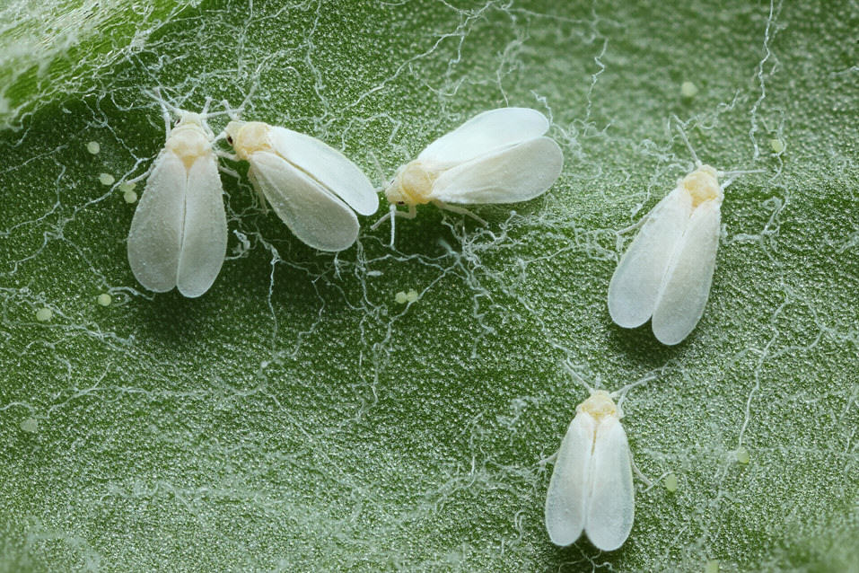 mosca-blanca-1