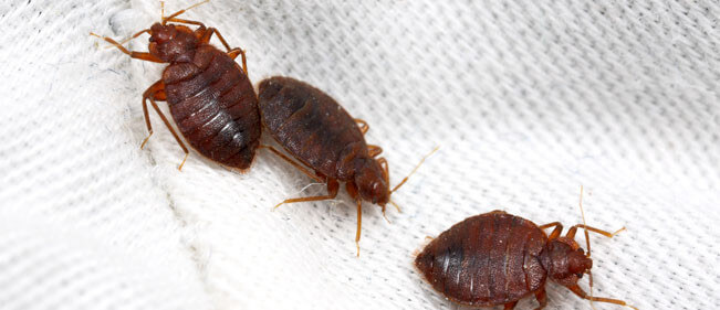 bed-bug-services