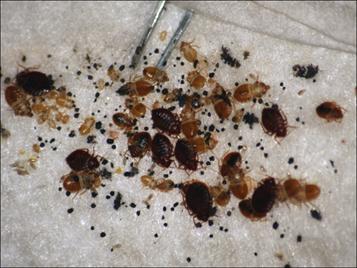 bedbug-colony