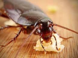 كيفية القضاء على الصراصير